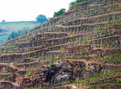 Terrazas y viñedos adosados en el distrito de Cote Rotie alrededor de Ampuis, en el norte del Ródano plantado con la uva Syrah. Laderas muy empinadas con algunas terrazas que datan de la época romana. Ampuis, Cote Rotie, Rhone, Francia, Europa